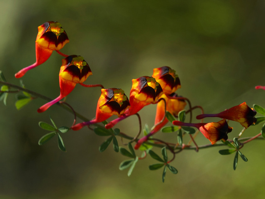 Photograph Soldaditos, Tropaeolum tricolor by Yamil Hussein Elmes on 500px
