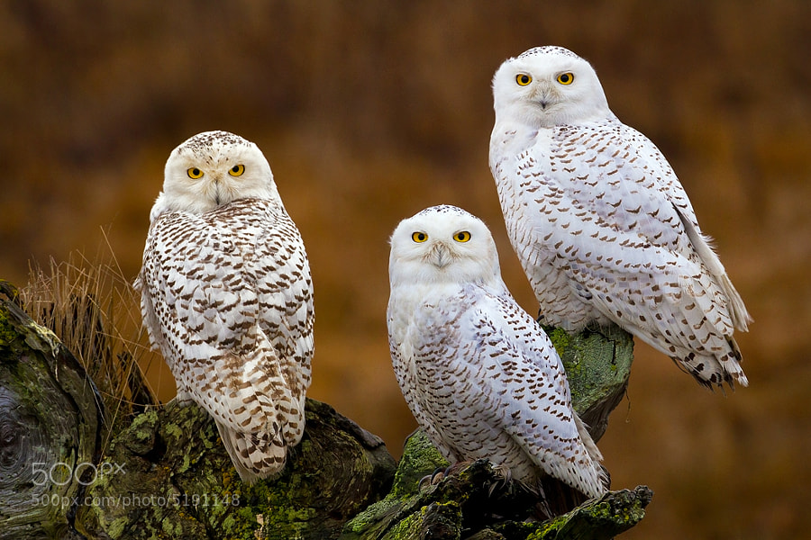 In early 2012, I headed up to Canada in search of Snowy Owls as I had heard in the news that they had flown south for the winter in unusually large numbers.