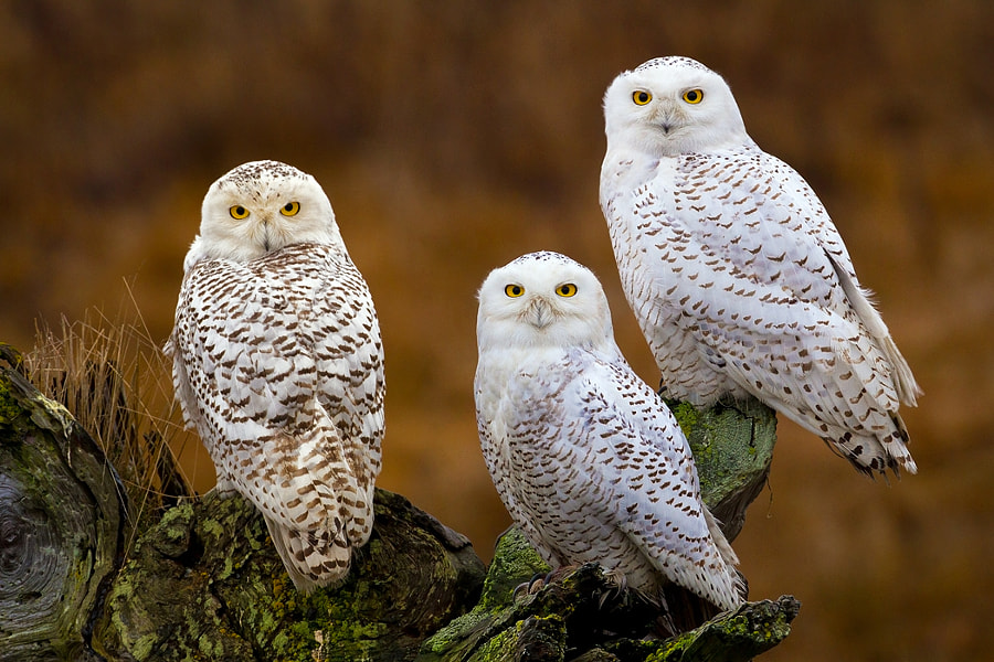 In early 2012, I headed up to Canada in search of Snowy Owls as I had heard in the news that they had flown south for the winter in unusually large numbers.  The news was right, they were easy to find and, on a couple occasions, I found them hanging out together. Likely up to no good as all I got were evil glares ;)