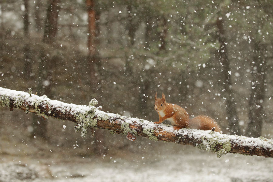 Photograph Red squirrel by Mark Hamblin on 500px