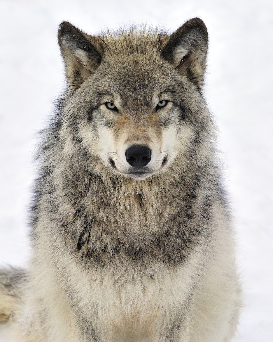 Photograph Timber Wolf by Tony Beck on 500px
