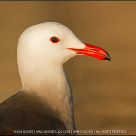 Gull - Golden Light by Maxis Gamez (MaxisGamez)) on 500px.com