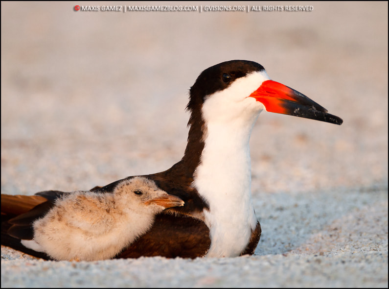 Photograph Skimmer Family by Maxis Gamez on 500px