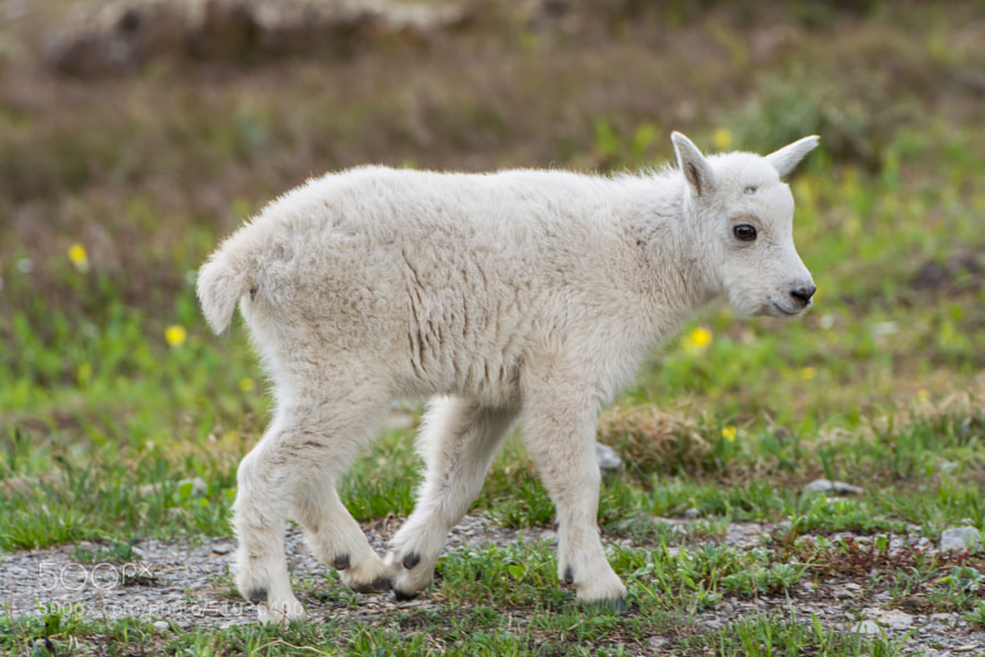 Photograph Baby Mountain Goat by Marc Poutre on 500px