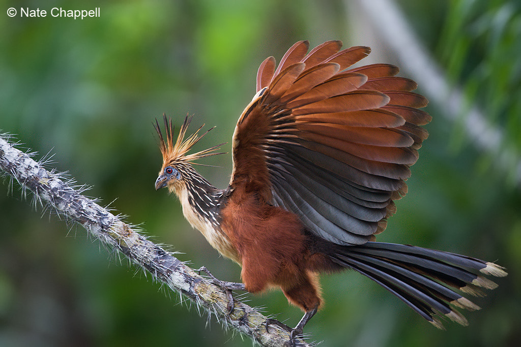 Photograph Hoatzin - Sani Lodge, Ecuador by Nate  Chappell on 500px