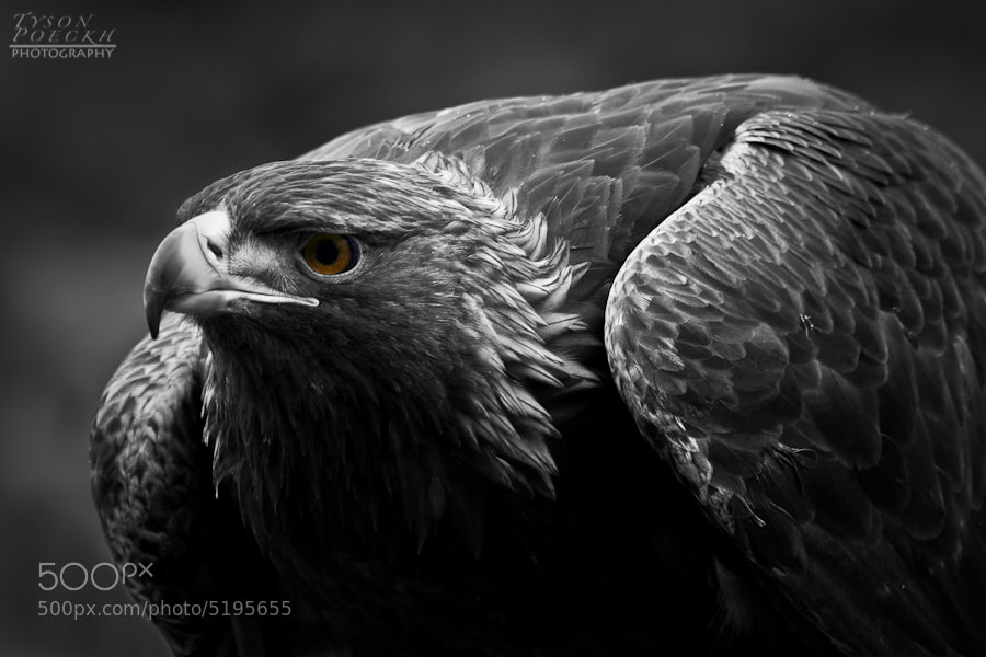 Photograph Golden Eagle by Tyson Poeckh on 500px