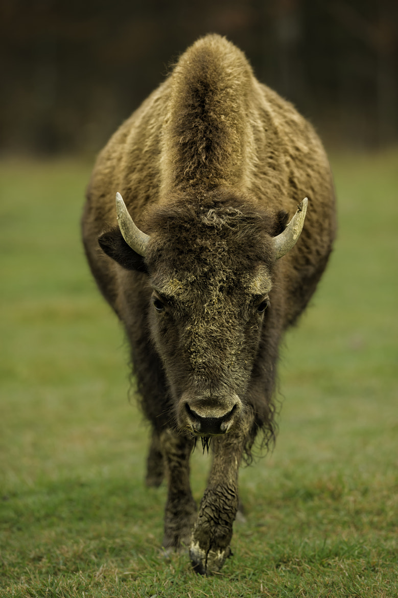 Photograph Young Bison by Daniel Parent on 500px