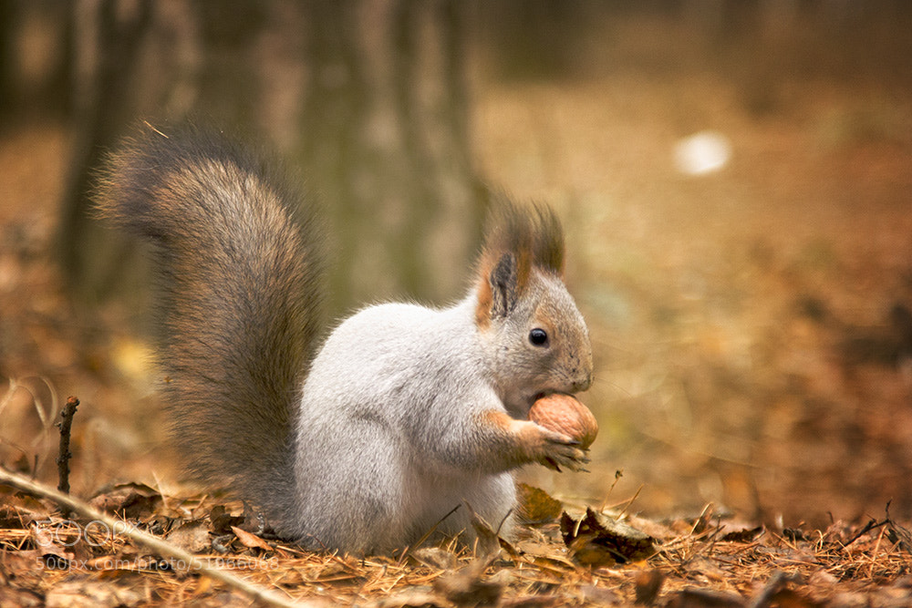 Photograph Yet another squirrel by PolTergejst  on 500px