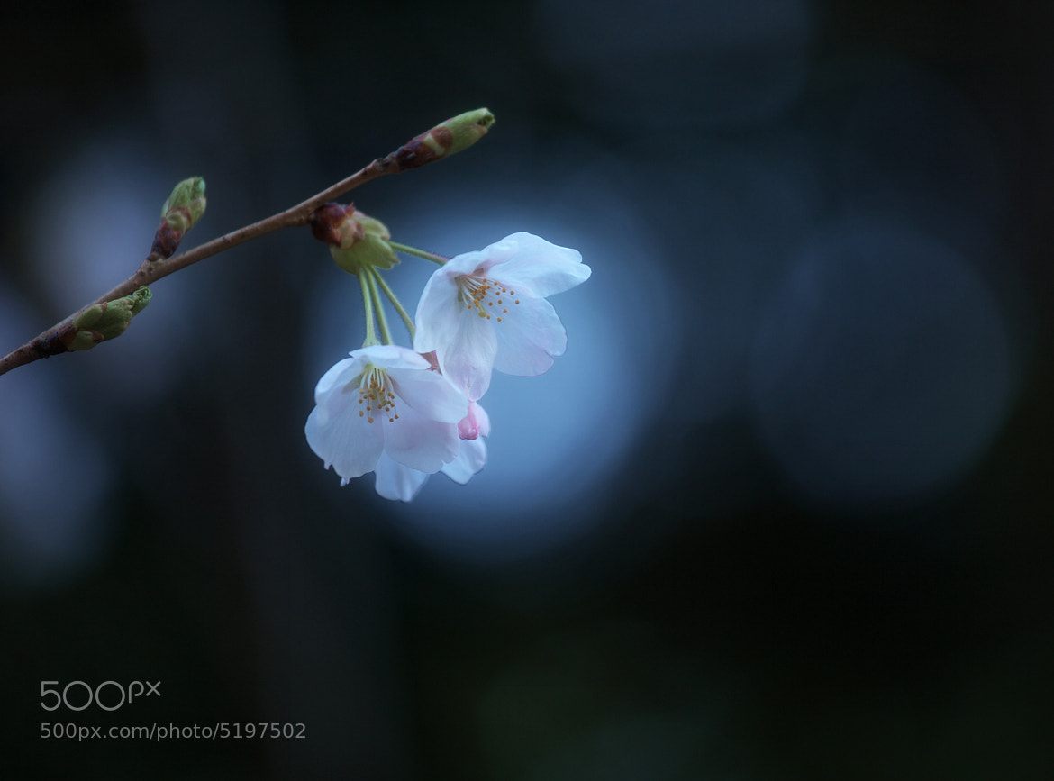 Photograph Cherry Blossom by Tashi Delek on 500px