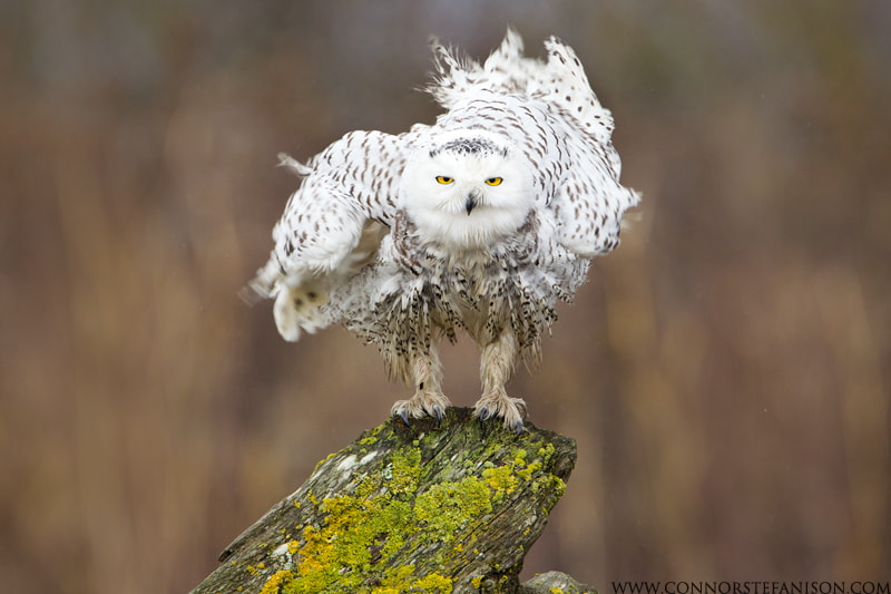 Photograph Snowy Owl Stare by Connor Stefanison on 500px