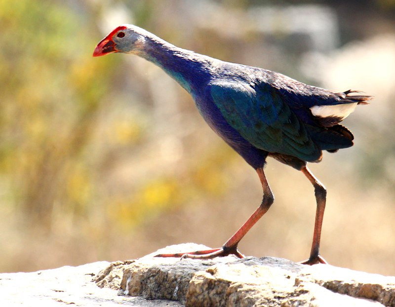 Photograph Purple Swamphen by Akshay Charegaonkar on 500px