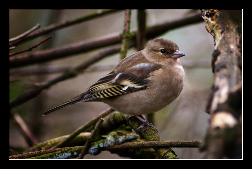 Photograph female chaffinch by Paul  Sherriff on 500px