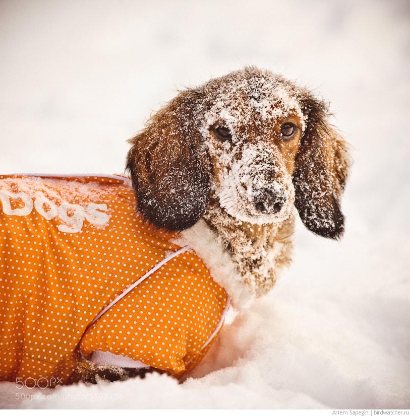 Photograph Snow Dog by Artem Sapegin on 500px
