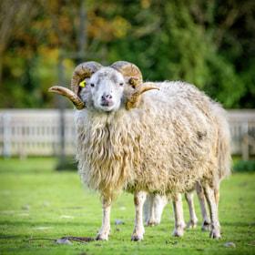 Sheep / Schaf