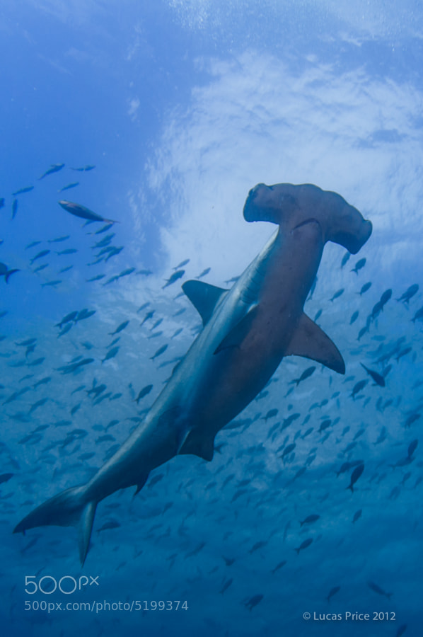 A scalloped hammerhead shark photographed in the Galapagos Islands with the sky and clouds in the background