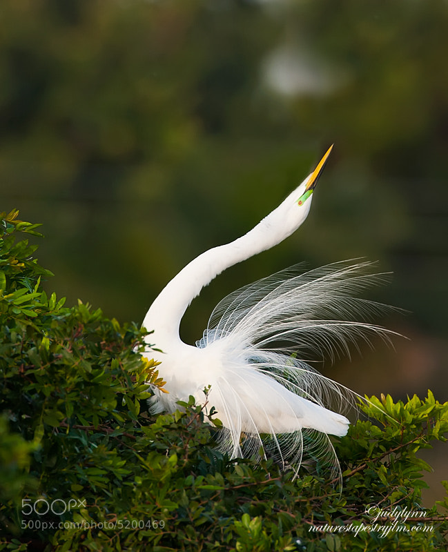 It is that time of year when the great white egrets begin their displaying to attrat a mate.  The beautiful long feathers that they have at mating time are so beautiful and to the elegance of this already beautiful bird.