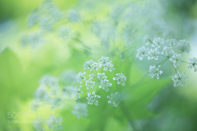 Photograph Ammi majus. by Noriko Tabuchi on 500px