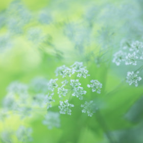 Ammi majus. by Noriko Tabuchi (white-roots)) on 500px.com
