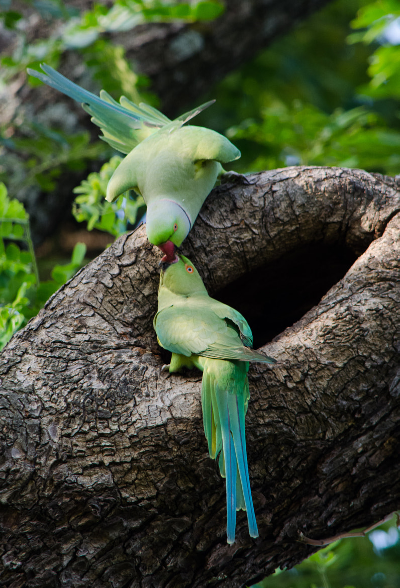 Photograph Kissing Parrots by Subhash Radhakrishnan on 500px