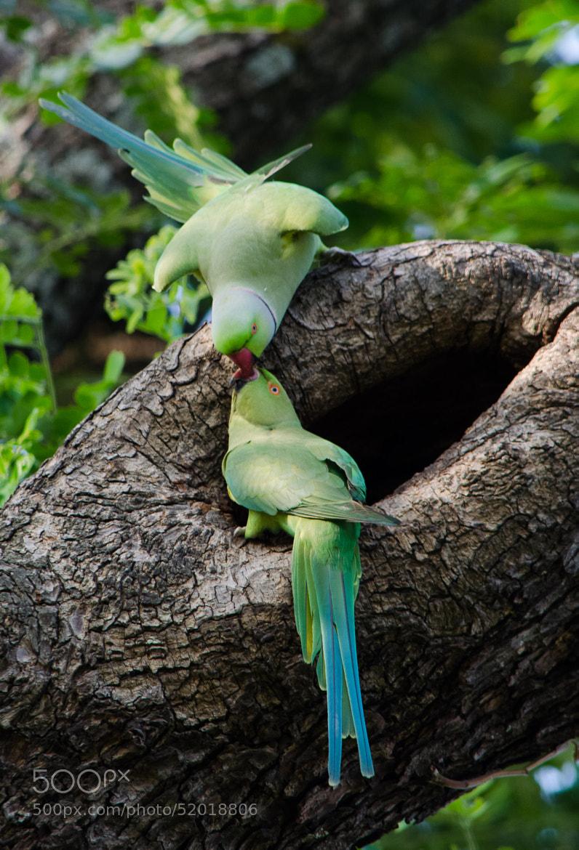 Photograph Kissing Parrots by Subhash Radhakrishnan on 500px