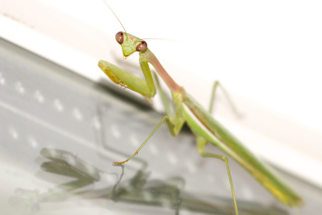 Photograph Praying Mantis by Andy Ryan on 500px