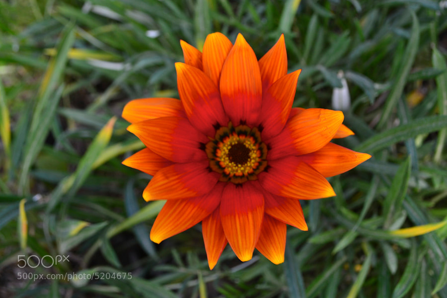 Photograph Flower like Fire by jamil ghanayem on 500px
