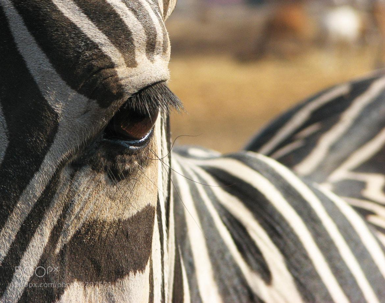 Photograph Zebra eye by Gilad Hazan on 500px