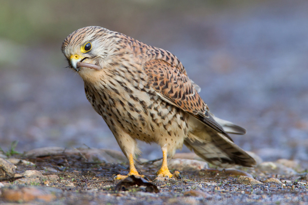 Photograph Kestrel by Tony House on 500px