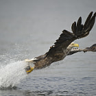 A Norwegian White-tailed eagle giving a fishing demonstration.</p>