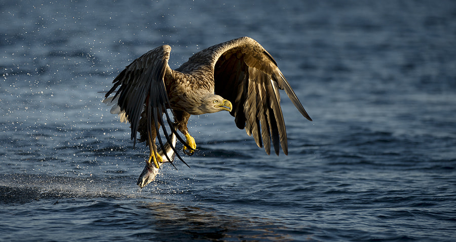 Even straight into a setting sun these eagles never miss.