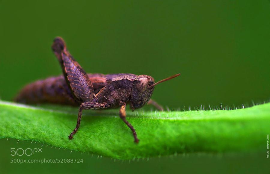 """tiny grasshopper by Mehmet Çoban on 500px.com"""" border=""""0"""" style=""""margin: 0 0 5px 0;"""