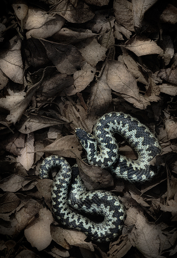 Pale phase male European Adder from a unique site in the Eastern Moors, Derbyshire. UK.
