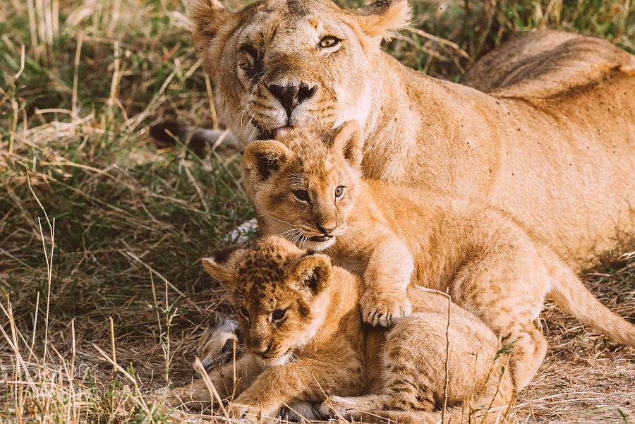Photograph Lion Family Portrait by Jesse Pafundi on 500px