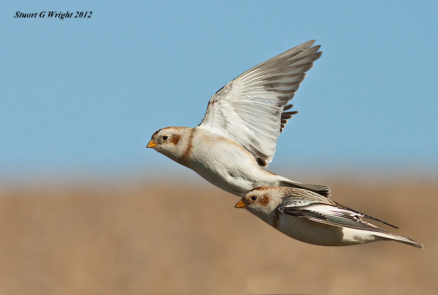 Photograph Snow buntings in flight  by Stuart Wright on 500px