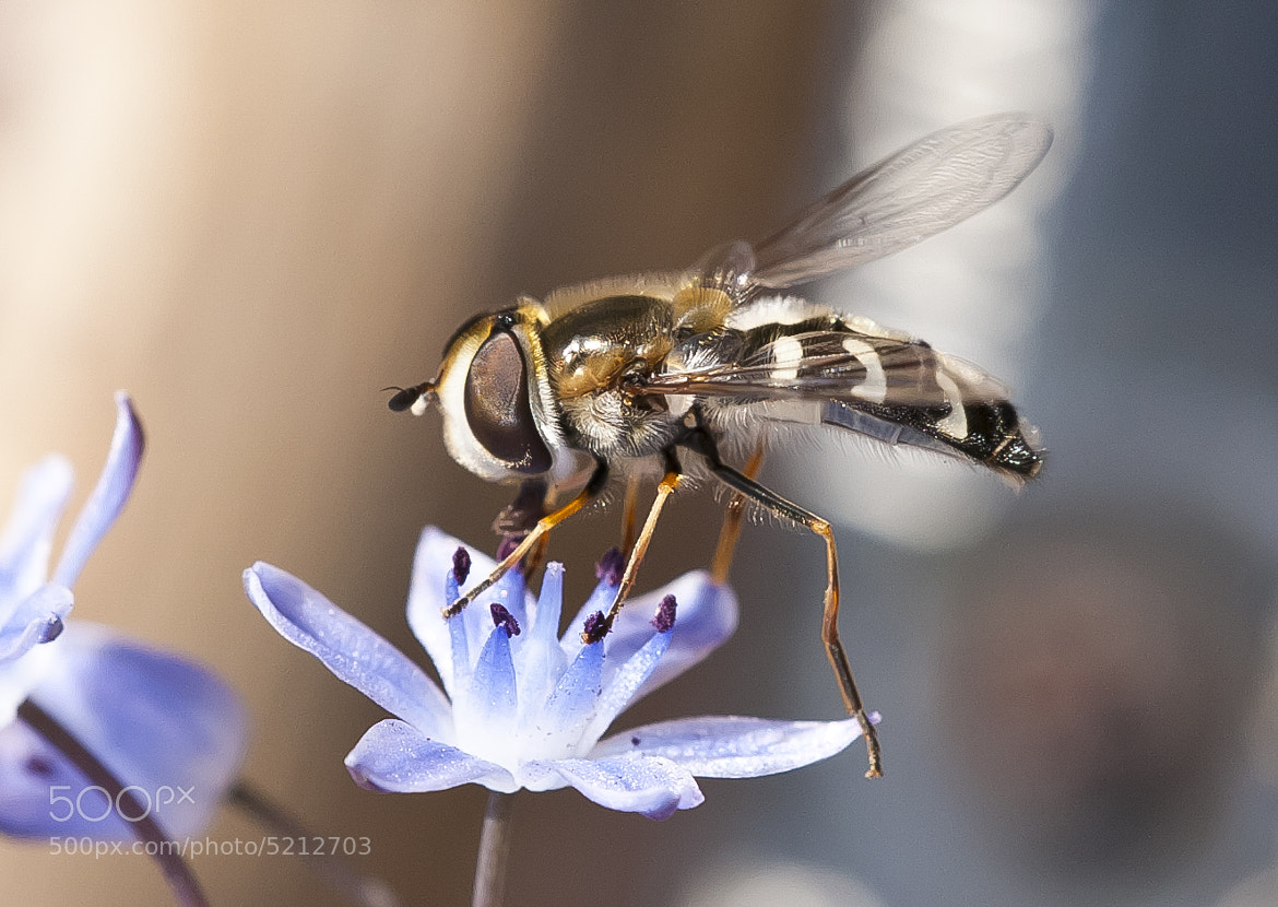 Photograph Hover fly  by Dean Bedding on 500px