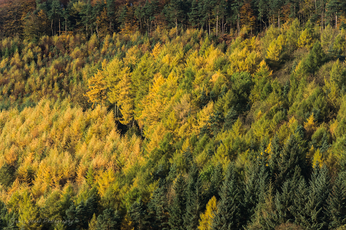 Photograph Autumn Larches by James Grant on 500px