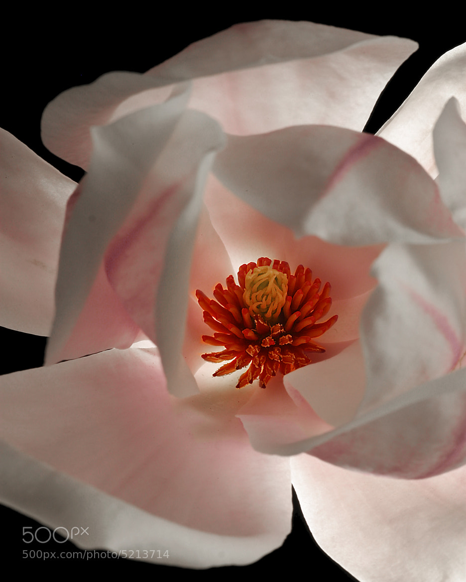 Photograph Magnolia by Rob Kruyt on 500px