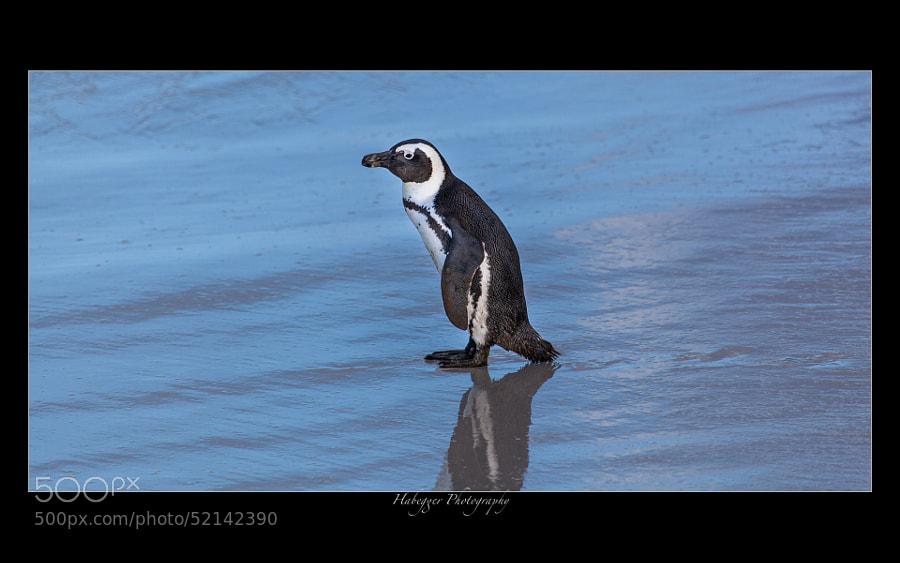 Jackass Penguin, Boulders Beach Penguin Colony