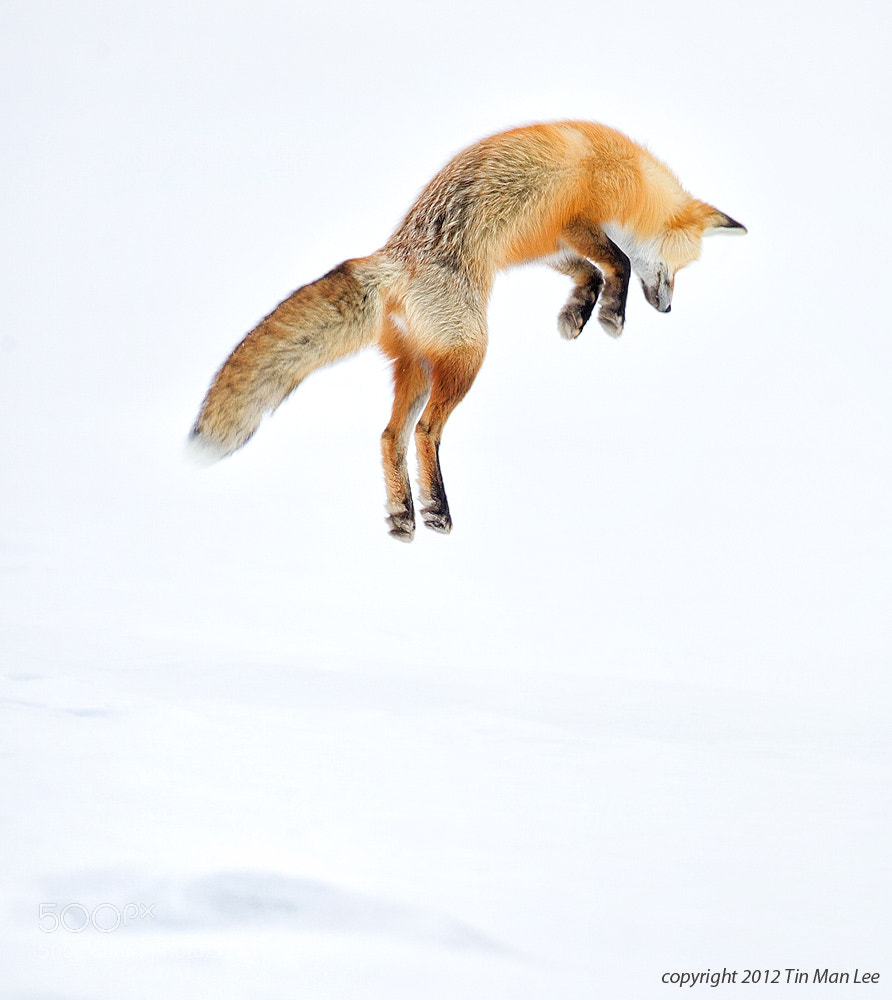 Photograph How High Red Fox Jumps? by Tin Man on 500px