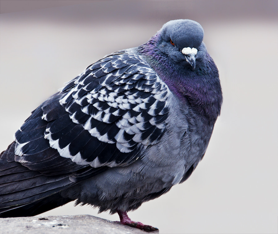 Photograph Severe pigeon by Nataliya Zemnaya on 500px