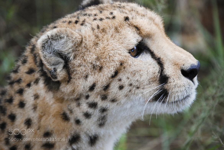Photograph Namibian cheetah by Slaurel Serial-Photographer on 500px