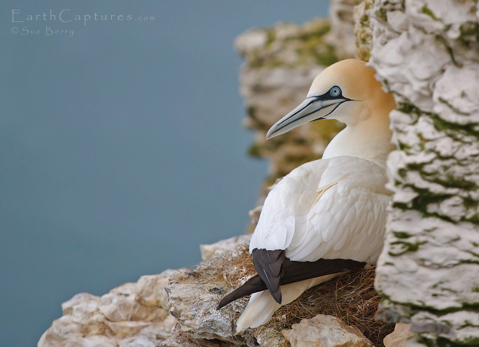 Photograph Nesting Gannet by Sue Berry on 500px