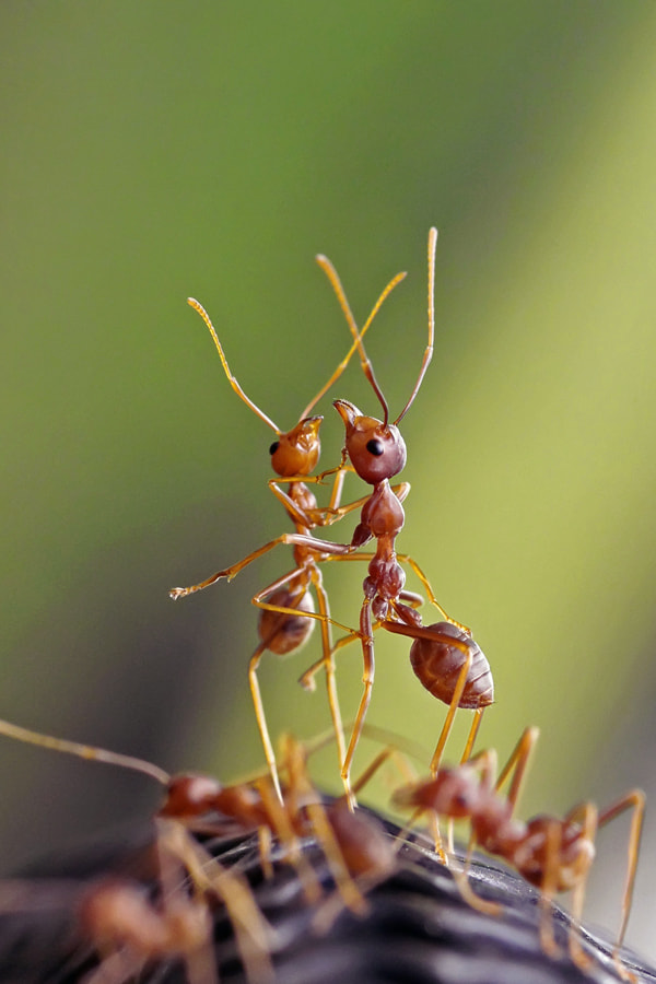 Photograph the dancing ant by teguh santosa on 500px