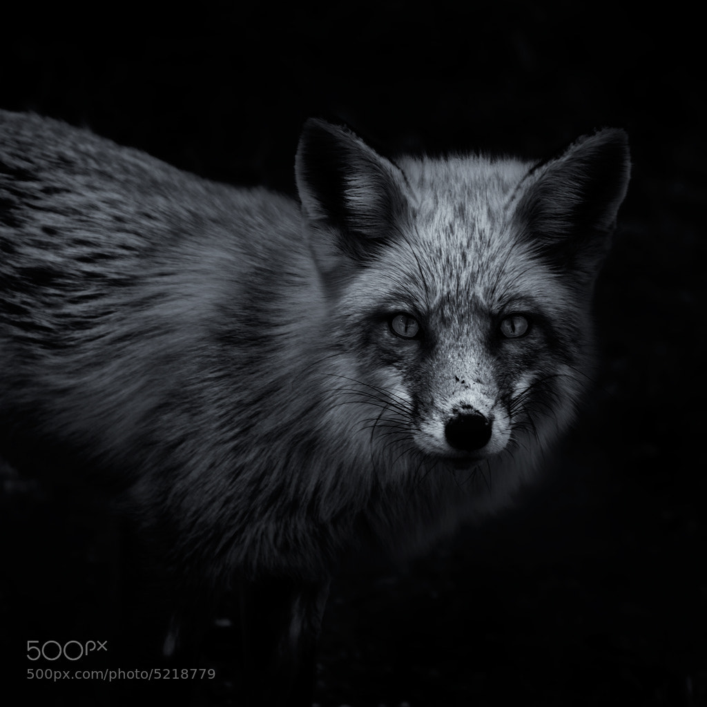 Photograph Red Fox by Jack Fusco on 500px