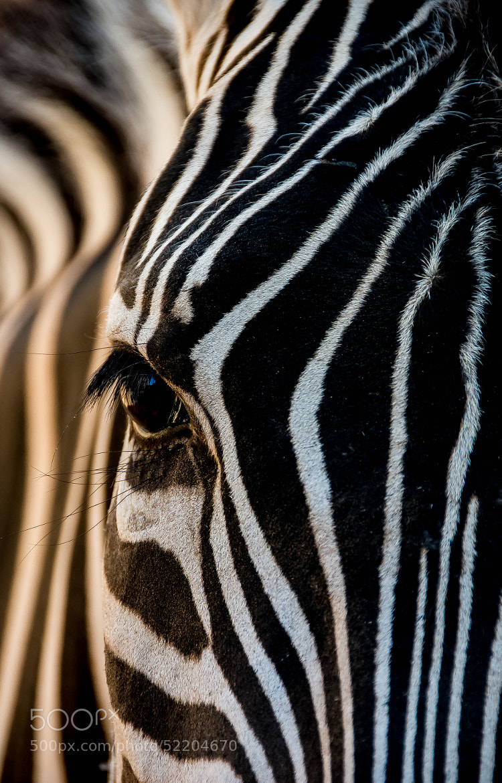 Photograph Zebra in the Early Morning Sun by julian john on 500px