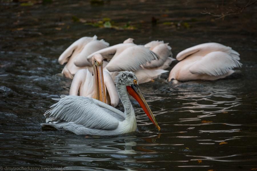 Pelikans
