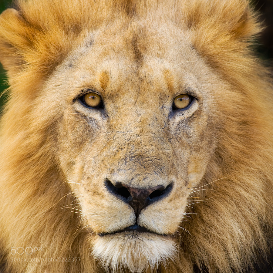 Photograph Lion by Mario Moreno on 500px