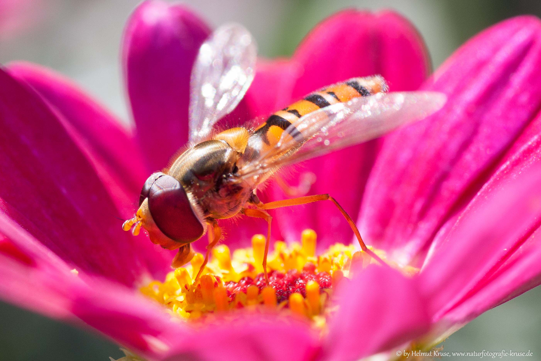 Photograph A closer view of a hoverfly by Helmut Kruse on 500px