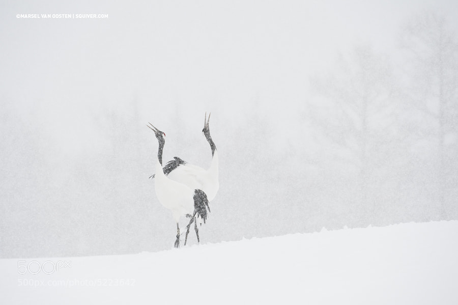 Photograph Snow Dance by Marsel van Oosten on 500px