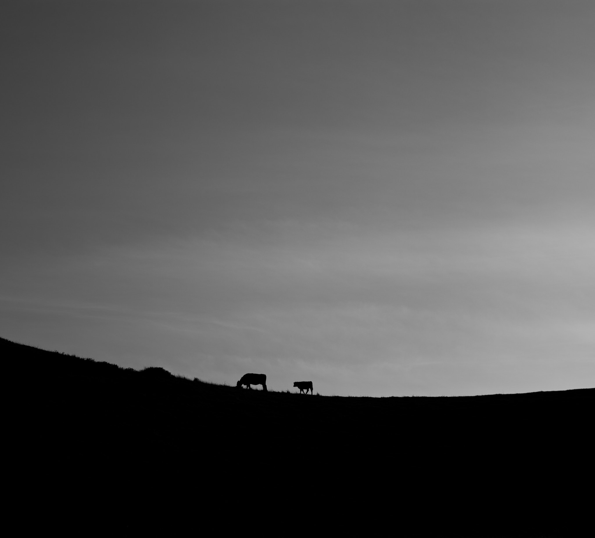 Photograph Cows A Contre Jour. by David Bouchat on 500px